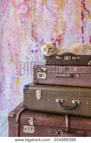 Thai Cat With Blue Eyes Sits Inside Vintage Suitcases Pyramid