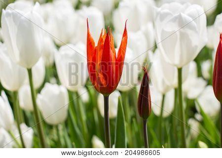Single  Tulip Flower In Spring Season