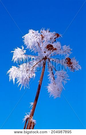 Close up of frozen stem of Cow parsnip plant against blue sky