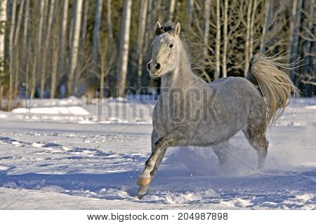 Purebred gray Arabian Mare galloping in snow