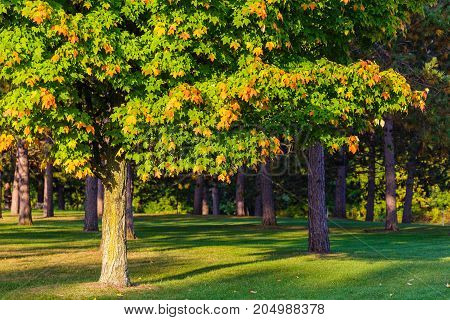 Tree in early stage of the Wisconsin autumn