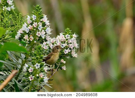 Bird on echium flowers and looking intently, phylloscopus canariensis