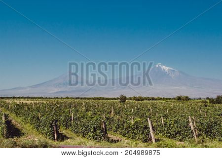 Grape field in Ararat valley. Mount Ararat on background. Grapes harvest. Exploring Armenia. Ecotourism and travel concept. Mountain and vineyard landscape.Tourist attraction. Copy space for text