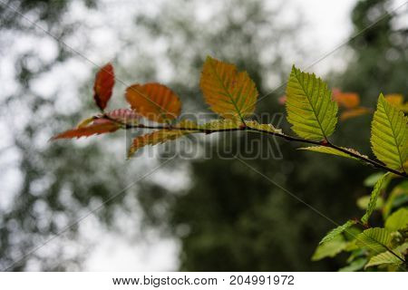 green red leaf side view close up in garden background and dark sky end of summer