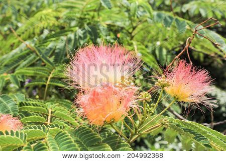 Fluffy beautiful flowers. Lush vegetation of the Nikitsky Botanical Garden in the Crimea.