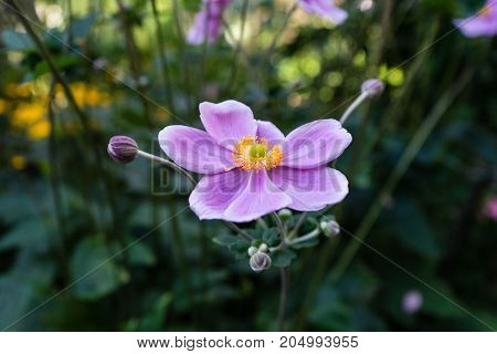 pink flower close up view in garden with green leaf leaves in summer