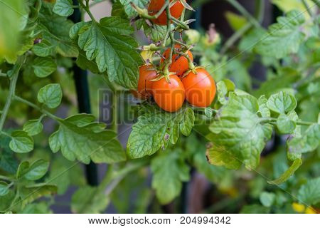 ripe tomato hanging from plant in garden with green leaf leaves