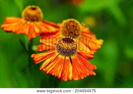 Helens Flower (Helenium), flowers of gardens, beauty in summer