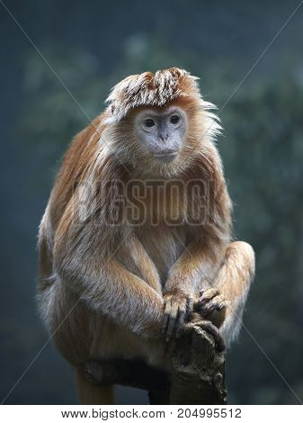 Javan lutung resting on a tree trunk in it habitat