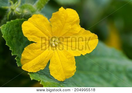 Blossom of cucumber plant (Cucumis sativus), crop in the garden