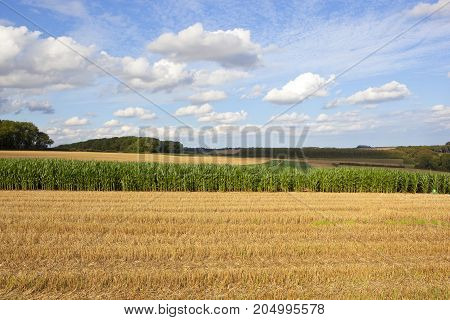 Maize Crop And Wheat Stubble