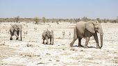 sunny arid savannah scenery including a walking family of african bush elephants seen in Namibia poster