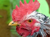 Beautiful Venda rooster photographed in Bloemfontein South Africa poster