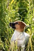 Puppy of Jack Russel terrier walking in high grass looking up in beautiful sunshine. poster