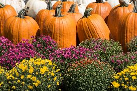 Orange and white pumpkins with fall chrysanthemums.