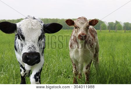 Two Young Roan Calves  Standing Side By Side Looking At The Camera In The Lush Green Spring Pasture