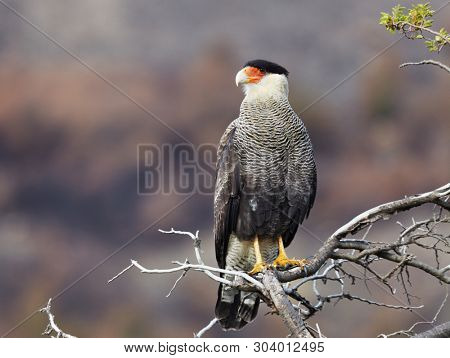 Southern crested caracara (Caracara plancus) in Torres del Paine National Park, Chile