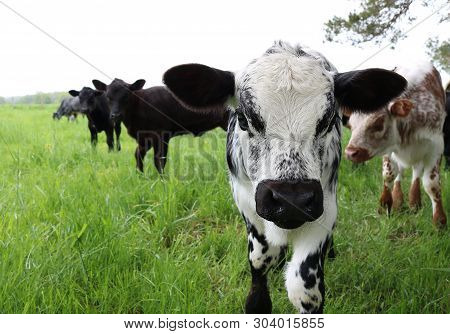 Close-up Of Head And Face Of White Black And Grey Mottled Newborn Roan Calf  Looking At The Camera W