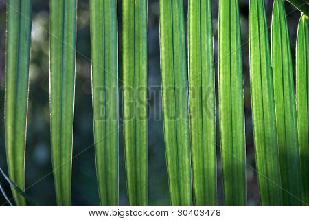 Close Up Of Transparent Green Palm Tree Leaf
