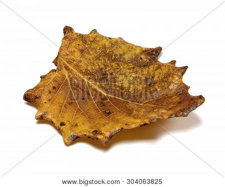 Autumn Dried Quaking Aspen, Populus Tremula Leaf. Isolated On White Background. Close-up View.