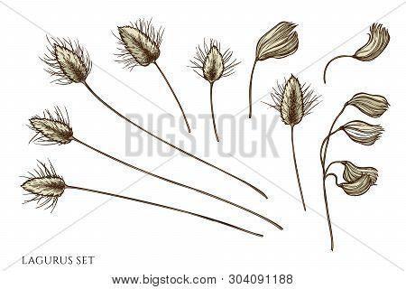Vector Set Of Hand Drawn Colored  Lagurus
