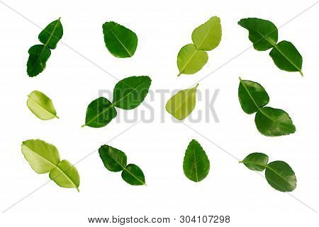 Kaffir Lime Leaves On White Background.(with Clipping Path).