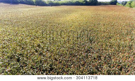 Sorghum Grains Growing In Fields Ready For Harvest,aerial High Angle Photos With Drones.