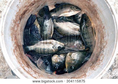 Trichogaster Pectoralis Fish In The Plastic Tank.