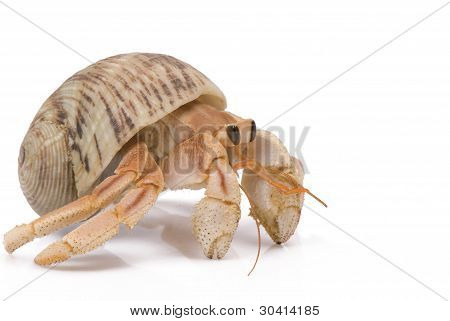 Hermit Crab crawling on a white background