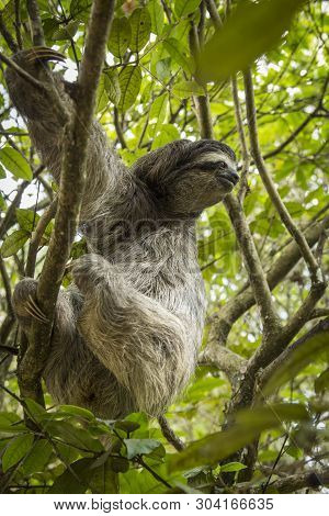 Three-toed Sloth In Costa Rica. Tropical Animal