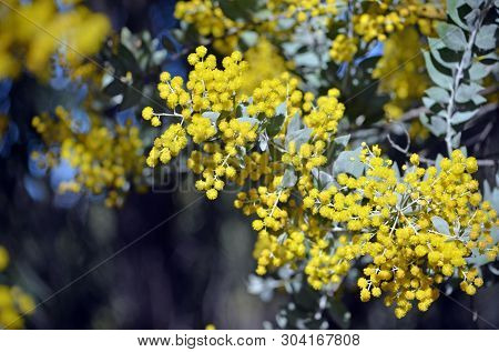 Yellow Flowers And Grey Leaves Of The Queensland Silver Wattle, Acacia Podalyriifolia, Family Fabace