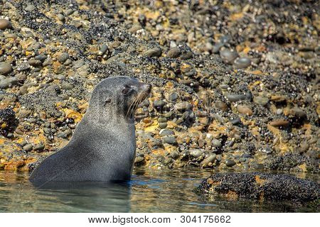 Baby Nz Fur Seal Playing At The Beach