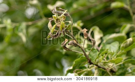 Erwinia Amylovora Bacterium That Provoked The Disease, Bacterial Burn Of Young Shoots Of The Apple T