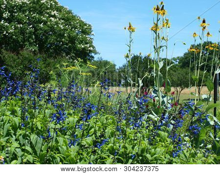 Dill Plants Contrast The Blue-black Blooms In The Forefront. The Tall Yellow Cornflowers Balances Ou