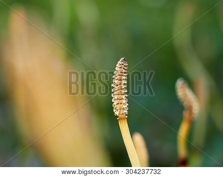 Yellow Horsetail Sprout. Horsetail Sprout Close-up On A Blurred Green Background.