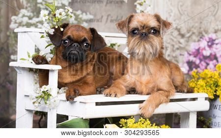 Griffon; Brussels; puppy is sitting on a bench in a flowered garden