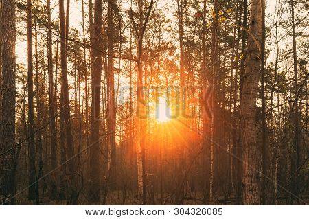 Beautiful Sunset Sun Sunshine In Sunny Forest. Sunlight Sun Rays Shine Through Woods In Forest Lands