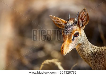 Close up of Dik dik antelope in Samburu national park in Kenya