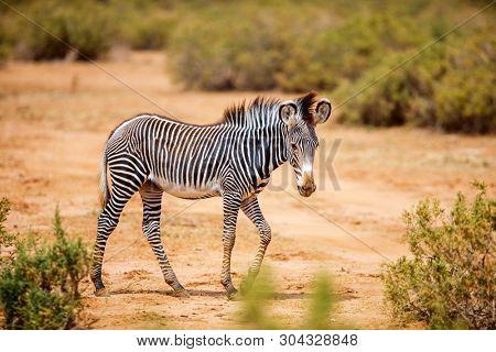 Samburu special five Grevys baby zebra in national reserve in Kenya