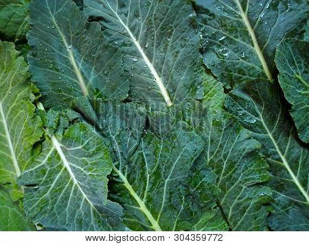 Kale Cabbage Leaf Background. Tuscan Or Black Kale Pattern. Winter Cabbage Leaf (italian Kale Or Lac