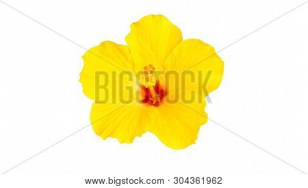 Hibiscus Flower And Tropical Flower Concept - Close Up Beautiful Yellow Hibiscus Flower Isolated On
