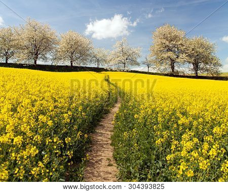 Rapeseed, Canola Or Colza Field With Parhway And Alley Of Flowering Cherry Trees - Brassica Napus -