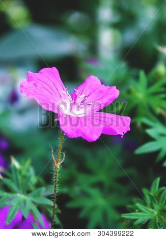 Blooming Flower Of Lilac Buttercup. Flower Close Up. Purple Color.