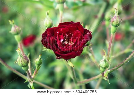 Blooming Bud Of A Pink, Red Rose. Flower Closeup