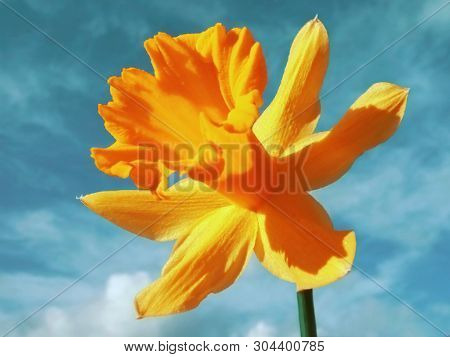 Yellow Flowers Of Daffodils. The Head Of The Flower. Flowers Against Blue Sky