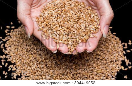 Women's Hands Holding Wheat Grains. Wheat Close-up. Wheat Grains On A Black Background. Durum Wheat.