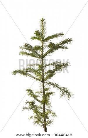 Natural pequeña Navidad abeto tree(sapling) aislado en blanco.