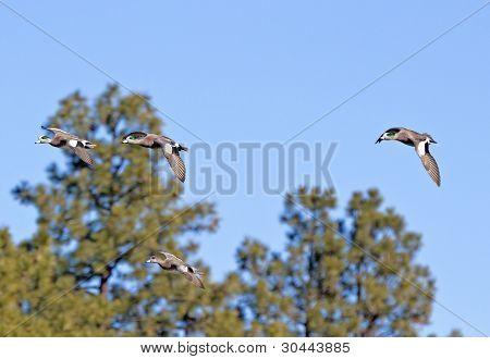 American Wigeon Ducks Flying