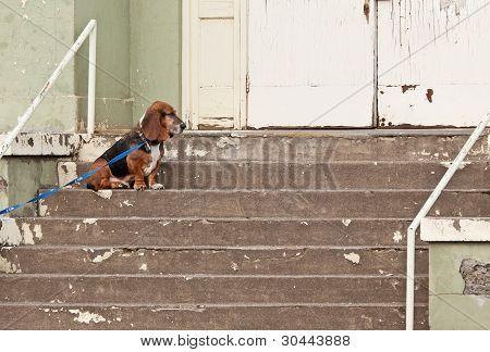 Basset Hound Dog At Abandoned Building