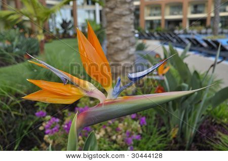 Bird Of Paradise Flower Strelitzia